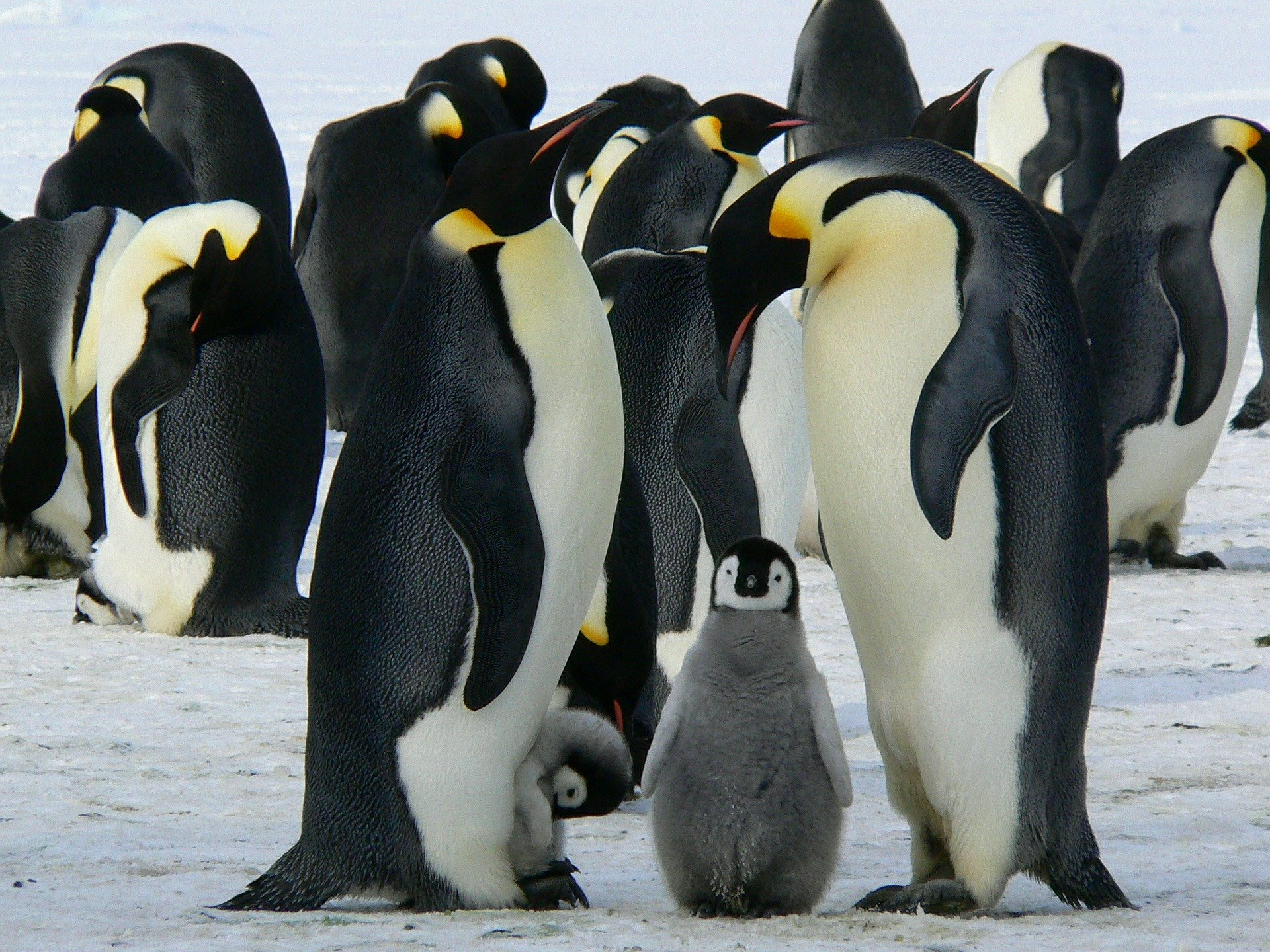 penguins-429128_1920.jpg